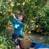Khám phá miệt vườn miền Tây sai trĩu quả